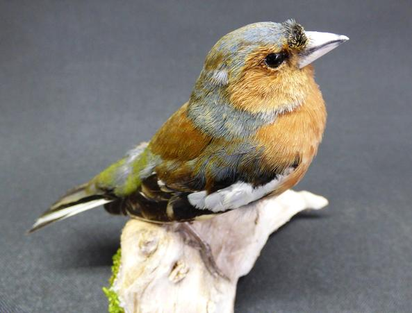 Adrian Johnstone, professional Taxidermist since 1981. Supplier to private collectors, schools, museums, businesses, and the entertainment world. Taxidermy is highly collectable. A taxidermy stuffed adult male Chaffinch (9382), in excellent condition.