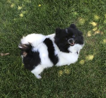 Black & White Parti Girl Pomeranian