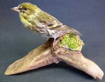 Adrian Johnstone, professional Taxidermist since 1981. Supplier to private collectors, schools, museums, businesses, and the entertainment world. Taxidermy is highly collectable. A taxidermy stuffed adult female Siskin (9600), in excellent condition.