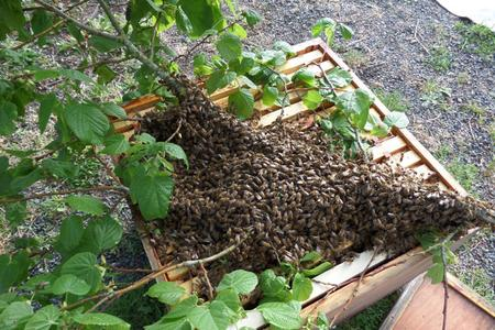 Bee-swarm-collection-in-a-hive-in-France