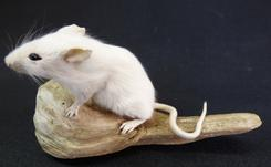 Adrian Johnstone, Professional Taxidermist since 1981. Supplier to private collectors, schools, museums, businesses and the entertainment world. Taxidermy is highly collectable. A taxidermy stuffed adult White Mouse (42), in excellent condition.