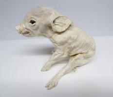 Adrian Johnstone, professional Taxidermist since 1981. Supplier to private collectors, schools, museums, businesses, and the entertainment world. Taxidermy is highly collectable. A taxidermy stuffed Piglet (48), in excellent condition.