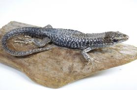Adrian Johnstone, professional Taxidermist since 1981. Supplier to private collectors, schools, museums, businesses, and the entertainment world. Taxidermy is highly collectable. A taxidermy stuffed Common Wall Lizard (545) in excellent condition. Mobile: 07745 399515 Email: adrianjohnstone@btinternet.com