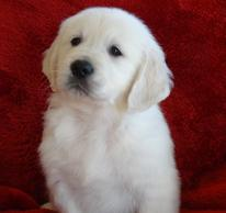 Available Doodle & Designer Puppies