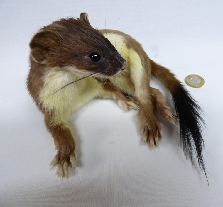 Adrian Johnstone, professional Taxidermist since 1981. Supplier to private collectors, schools, museums, businesses, and the entertainment world. Taxidermy is highly collectible. A taxidermy stuffed Stoat (19), in excellent condition.