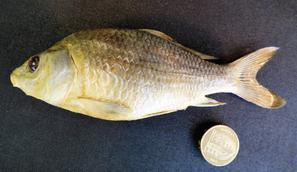 Adrian Johnstone, professional Taxidermist since 1981. Supplier to private collectors, schools, museums, businesses, and the entertainment world. Taxidermy is highly collectable. A taxidermy stuffed young Common Carp (2), in excellent condition.