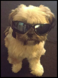 Dog with suglasses