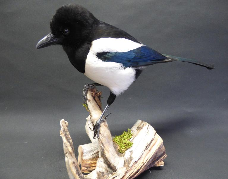 Adrian Johnstone, Professional Taxidermist since 1981. Supplier to private collectors, schools, museums, businesses and the entertainment world. Taxidermy is highly collectible. A taxidermy stuffed Magpie (9200), in excellent condition.