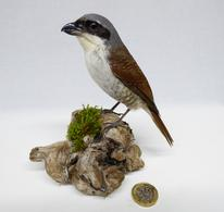 Adrian Johnstone, professional Taxidermist since 1981. Supplier to private collectors, schools, museums, businesses, and the entertainment world. Taxidermy is highly collectable. A taxidermy stuffed Red Backed Shrike (491fb), in excellent condition.