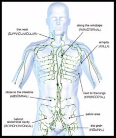 Manual lymph drainage mld to better understand lymphedema we first must understand the normal lymphatic system see diagram this system functions parallel to the circulatory ccuart Gallery