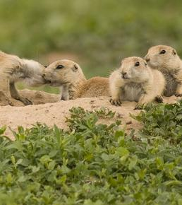 rocky mountain wildlife prairie dog control