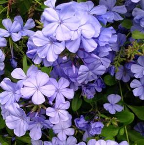 Plumbago perennial with dark green foliage and blue-purple blooms that have five petal-like lobes.