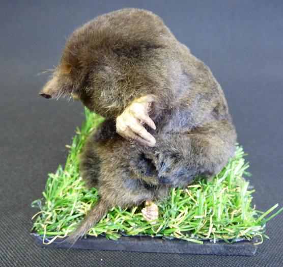 Adrian Johnstone, professional Taxidermist since 1981. Supplier to private collectors, schools, museums, businesses, and the entertainment world. Taxidermy is highly collectable. A taxidermy stuffed Mole sitting on grass (11), in excellent condition.