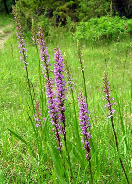 Fragrant-orchid-in-France