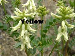 Link to Yellow Flowers at Cedars page.