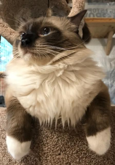 ragdoll kittens, ragdoll kittens for sale, ragdoll cats