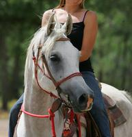 Massimiliano--2012 grey Arabian horse for sale