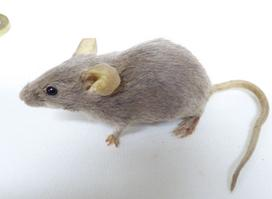 Adrian Johnstone, professional Taxidermist since 1981. Supplier to private collectors, schools, museums, businesses, and the entertainment world. Taxidermy is highly collectable. A taxidermy stuffed Grey Mouse (667), in excellent condition. Mobile: 07745 399515 Email: adrianjohnstone@btinternet.com