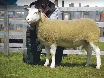 The British Berrichon Sheep Society - Berrichon Sheep