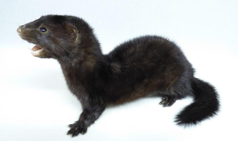 Adrian Johnstone, professional Taxidermist since 1981. Supplier to private collectors, schools, museums, businesses, and the entertainment world. Taxidermy is highly collectable. A taxidermy stuffed adult American Mink (653), in excellent condition. Mobile: 07745 399515 Email: adrianjohnstone@btinternet.com