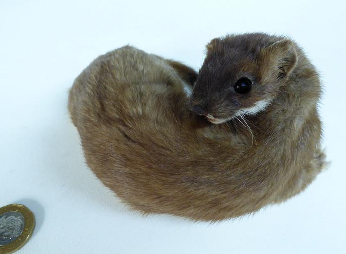 Adrian Johnstone, professional Taxidermist since 1981. Supplier to private collectors, schools, museums, businesses, and the entertainment world. Taxidermy is highly collectible. A taxidermy stuffed Stoat (736) in excellent condition. Mobile: 07745 399515 Email: adrianjohnstone@btinternet.com