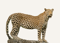 Central African Republic Leopard