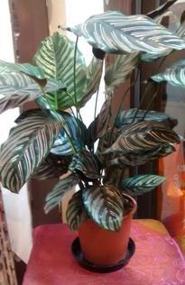 Striped Calathea | Indoor plants | House plants | The Little Flowershop