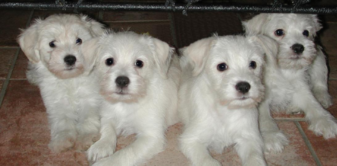 Schnoodle Puppies For Sale Desert Gold Ranch