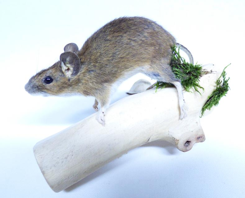 Adrian Johnstone, professional Taxidermist since 1981. Supplier to private collectors, schools, museums, businesses, and the entertainment world. Taxidermy is highly collectable. A taxidermy stuffed Field Mouse (8), in excellent condition.