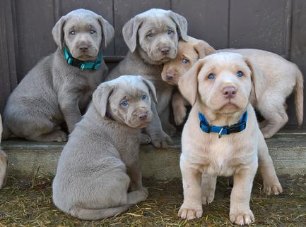 Silver Lab Puppies Home