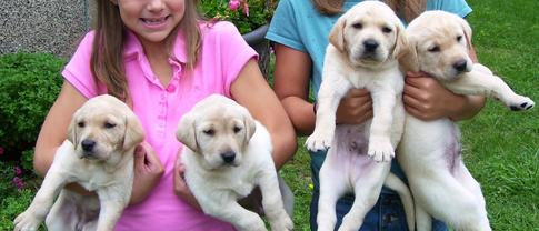 Labrador Retrievers Puppies and Trained Dogs Minnesota