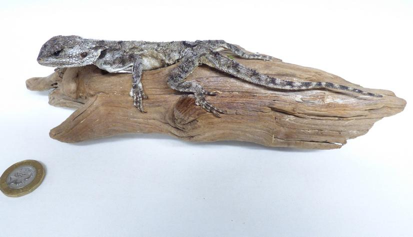 Adrian Johnstone, professional Taxidermist since 1981. Supplier to private collectors, schools, museums, businesses, and the entertainment world. Taxidermy is highly collectible. A taxidermy stuffed Agama Lizard (683), in excellent condition. Mobile: 07745 399515 Email: adrianjohnstone@btinternet.com