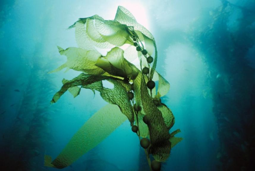 Seaweed, kelp, algae used in Herbal Power Peel resurfacing exfoliant