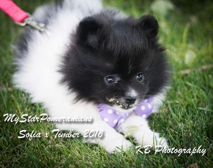 Red Sable Male Pomeranian