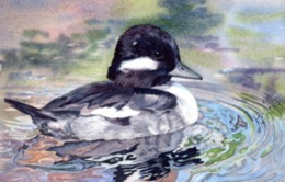 Original Watercolor - Bufflehead Duck by Lorraine Watry