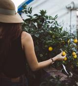picture of woman picking small oranges in a greenhouse