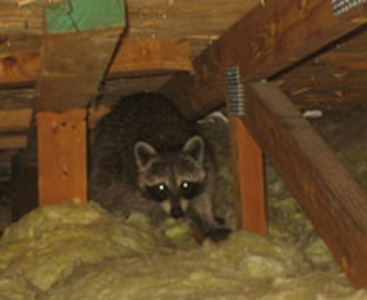 raccoon in attic louisville