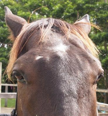 Big head in horses - an answer to oxolate poisoning