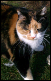 Patches Calico Cat in the yard