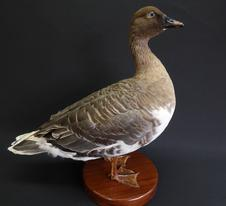 Adrian Johnstone, professional Taxidermist since 1981. Supplier to private collectors, schools, museums, businesses, and the entertainment world. Taxidermy is highly collectable. A taxidermy stuffed Pink-footed Goose (9529), in excellent condition.