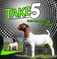 Bucks of Teel Show Goats