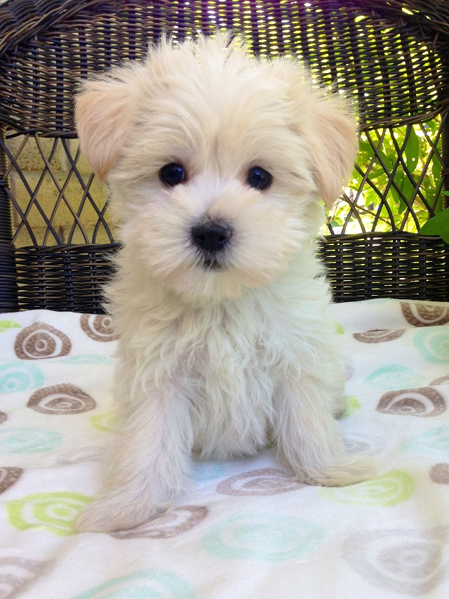 Teeny Pup Maltese Puppies Maltese Dogs Maltese Puppies For Sale