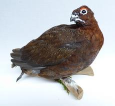 Adrian Johnstone, professional Taxidermist since 1981. Supplier to private collectors, schools, museums, businesses, and the entertainment world. Taxidermy is highly collectable. A taxidermy stuffed Red Grouse (log no:9913) in excellent condition. Mobile: 07745 399515 Email: adrianjohnstone@btinternet.com