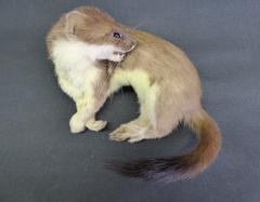 Adrian Johnstone, professional Taxidermist since 1981. Supplier to private collectors, schools, museums, businesses, and the entertainment world. Taxidermy is highly collectable. A taxidermy stuffed Stoat (41), in excellent condition.