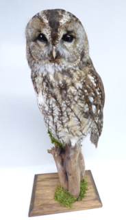 Adrian Johnstone, professional Taxidermist since 1981. Supplier to private collectors, schools, museums, businesses, and the entertainment world. Taxidermy is highly collectable. A taxidermy stuffed Tawny Owl (9828), in excellent condition.