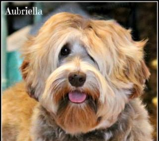 Hale's Australian Labradoodle named Gucci