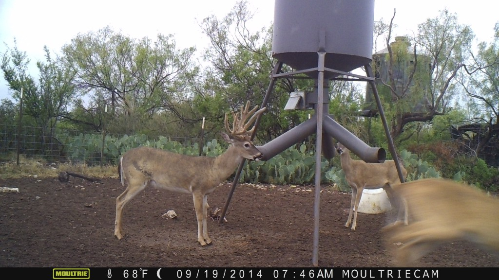 protein coon for deer ubbthreads feeder f topics forum your cheap feeders texas proof to hunting way