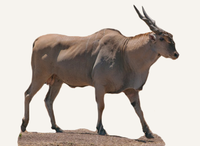 Central African Republic Eland