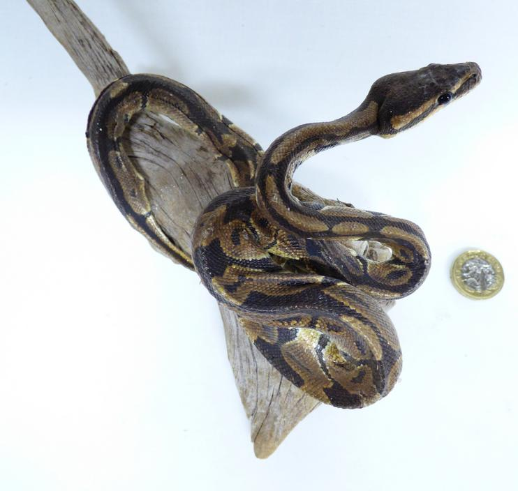 Adrian Johnstone, professional Taxidermist since 1981. Supplier to private collectors, schools, museums, businesses, and the entertainment world. Taxidermy is highly collectible. A taxidermy stuffed Ball Python (525), in excellent condition. Mobile: 07745 399515 Email: adrianjohnstone@btinternet.com