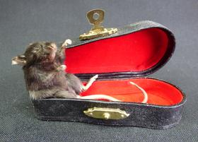 Adrian Johnstone, professional Taxidermist since 1981. Supplier to private collectors, schools, museums, businesses, and the entertainment world. Taxidermy is highly collectable. A taxidermy stuffed Mouse In Violin Case (53), in excellent condition.